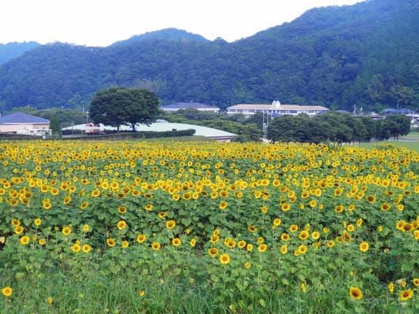 南光ひまわり畑2