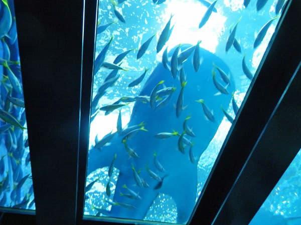 大水槽のジンベイザメ