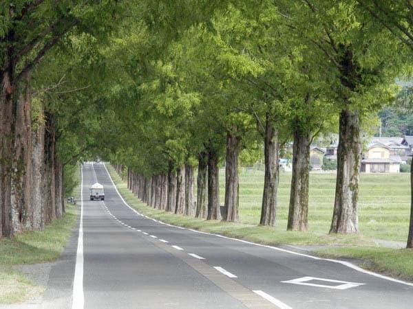 メタセコイア並木道1
