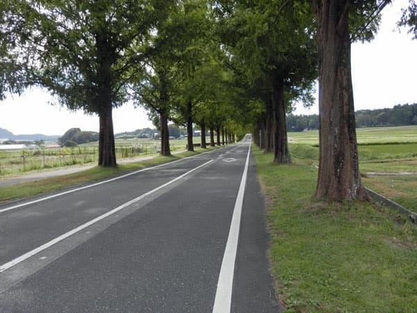 メタセコイア並木道3