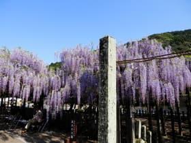 福岡県 黒木の大藤
