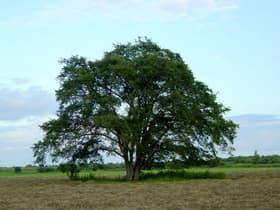 北海道 ハルニレの木