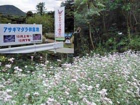 大分県 姫島のアサギマダラ