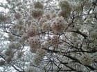 満開の団子桜